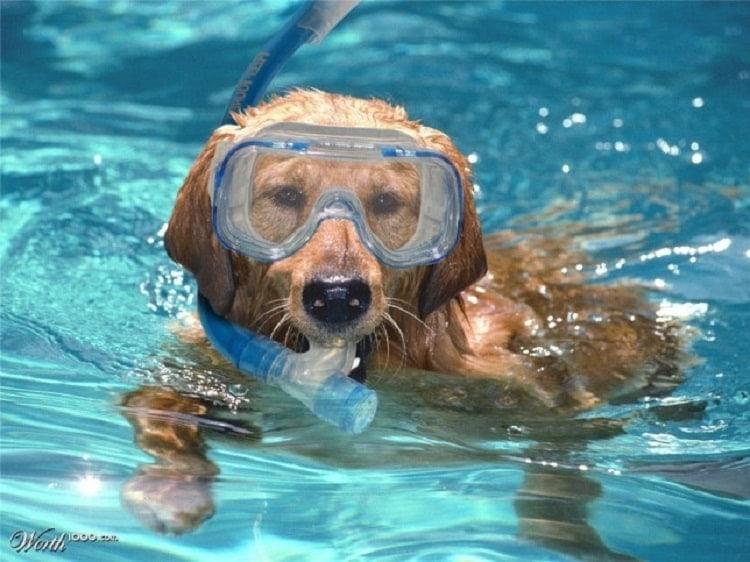 Bơi chó